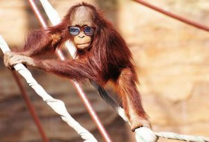 ryan-lochte-orangutan